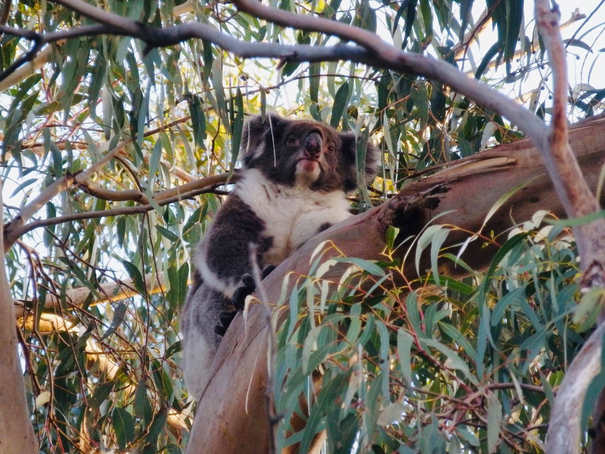 Koala in a tree Mornington