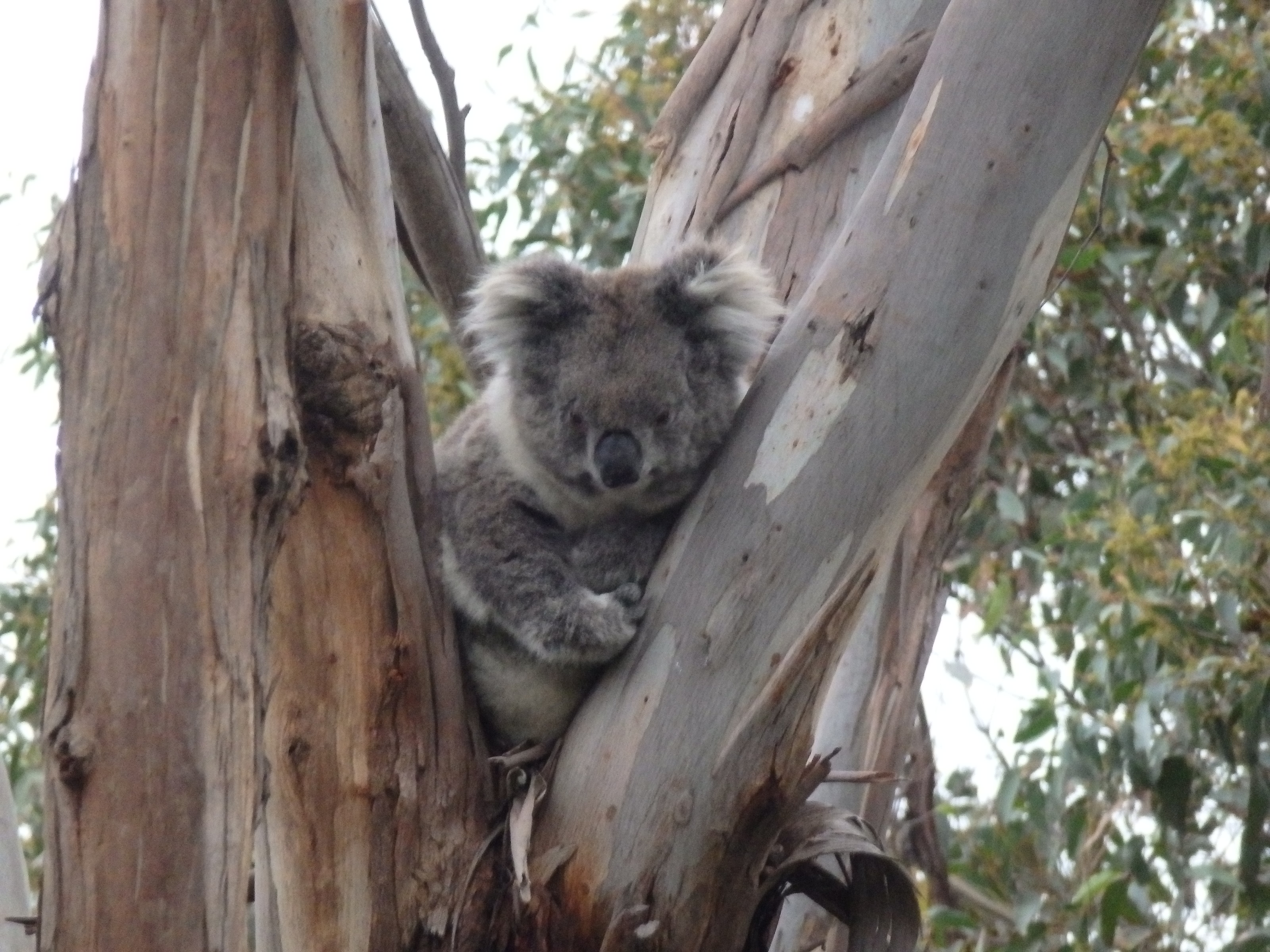 MP Koalas conservation group