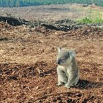koala sitting in logged habitat